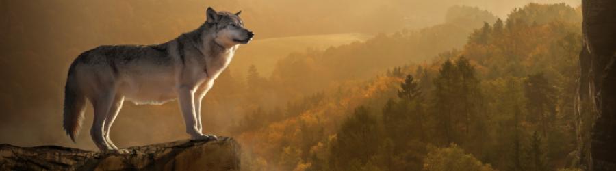 Bild zeigt Wolf auf einem Felsvorsprung. Mit Blick über ein Tal mit Wald.